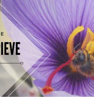 Immagine del fiore di zafferano